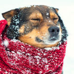 Dog wearing a scarf in snow